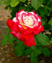 Red and White Rose (small puzzle)