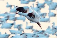 Snow Goose coming in for a landing