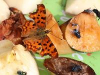 Comma butterfly on my insect fruit dish.