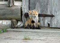 Hide and seek Fox cubs