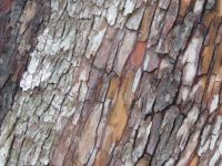 The bark of the arbutus tree