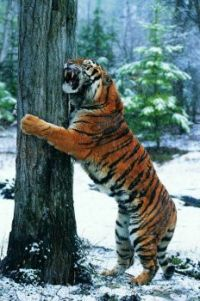 Tiger Sharpening Her Claws on a Tree in the Snow