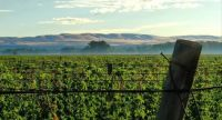 Hop yards in the Yakima Valley