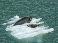 Mama seal and pup,  Sawyer Glacier, Alaska