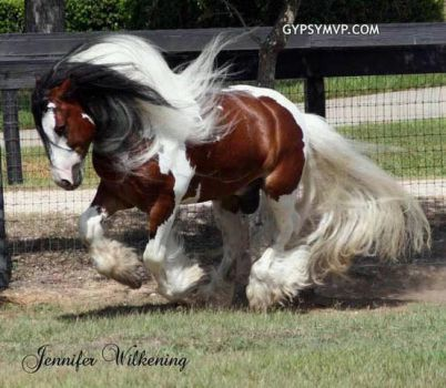 Beautiful Gypsy Vanner