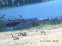 Canada Geese At Lake Resort