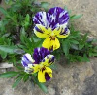 Self-sown pansy in my garden