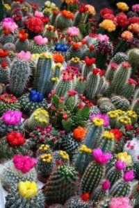 Flowering Cactii