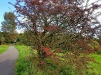 Autumn Berries  (9)