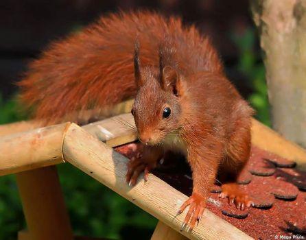 eekhoorn in de tuin