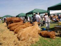 Cows at Stithians Show 2013