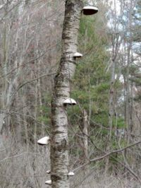Walkabout: Tree fungus stack