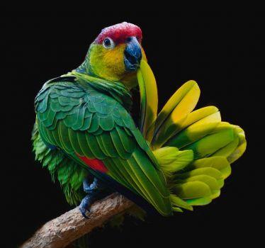 Lilacine Amazon Parrot