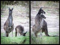 Western Grey Kangaroo Mother and Joey