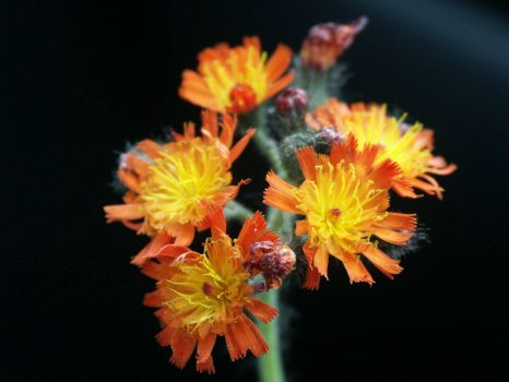 Orange Hawkweed - 25 Jun 2004