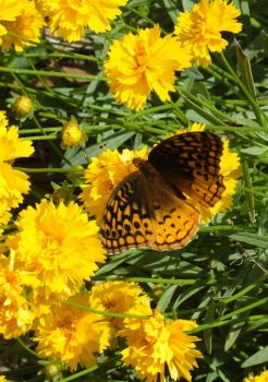 Monarch on coreopsis