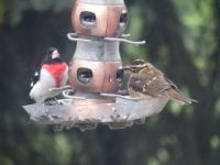 Rose-Breasted Grosbeak and sparrow