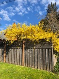 My cousin's blooming forsythia