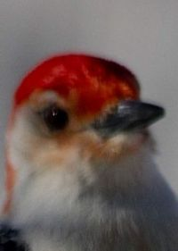 Male Red-Bellied Woodpecker   (macro)
