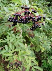 Fruits of the wood; Elderberries