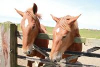 Two Suffolk Punch Horses