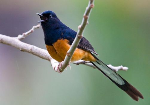 the white rumped shama, south and se asia best songbird