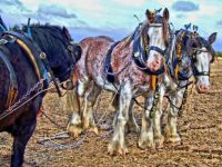HDR of horses at Flintham ploughing match - 27th Sep 2007