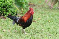 Rooster on Kauai