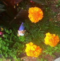 Little gnome among the marigolds.