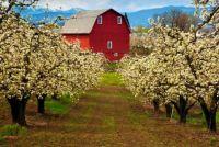 Red Barn in Spring