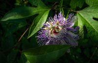 Purple Passion Vine Blossom