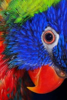 RAINBIRD LORIKEET