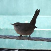 House Wren, Grand Avenue Bridge, Del Mar, California