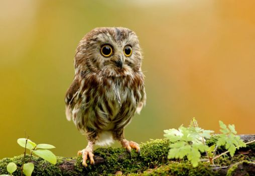 Baby Brown Owl..