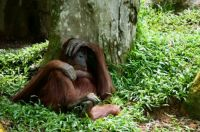 Indifferent orangutan