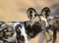 African wild dog (Lycaon pictus) by Ian White