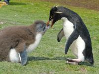 Dad Rockhopper Penguin feeding fluffy baby