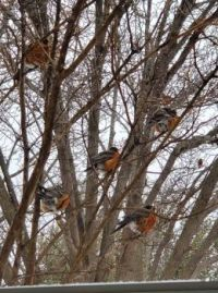 Cold Weather Doesn't Seem to Bother These Robins.