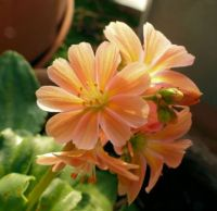 my orange lewisia