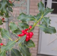 Holly Berries in ABQ