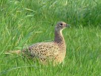 female pheasant (fazanthen)