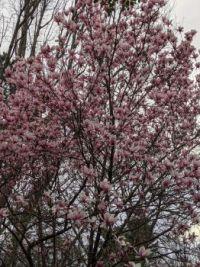 Mom's magnolia tree.