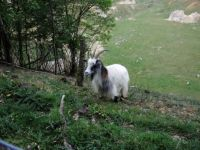 "Goat in the ""Curfs"" quarry (Netherlands)"