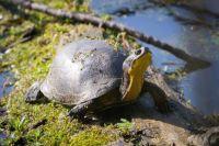 Blanding's turtle (Emydoidea_blandingii)