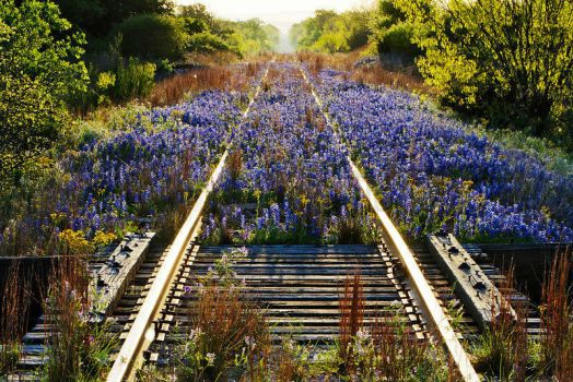 Beautiful flowers growing over railroad tracks that haven't been used in awhile.