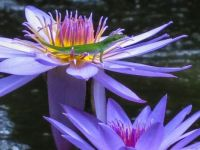 Florida Anole and Water LIly