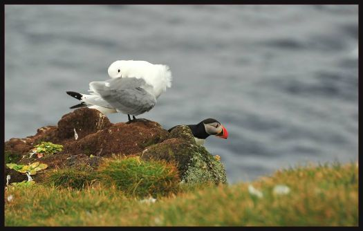 Gull and Puffin