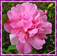 Frilled Camellia.