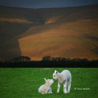 Spring Lamb this week in the Lake District