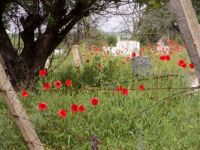 Poppies on a village cemetery